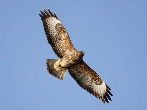 buzzard_5445
